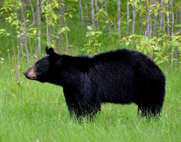 Bear Sighting in Hiawatha Highlands